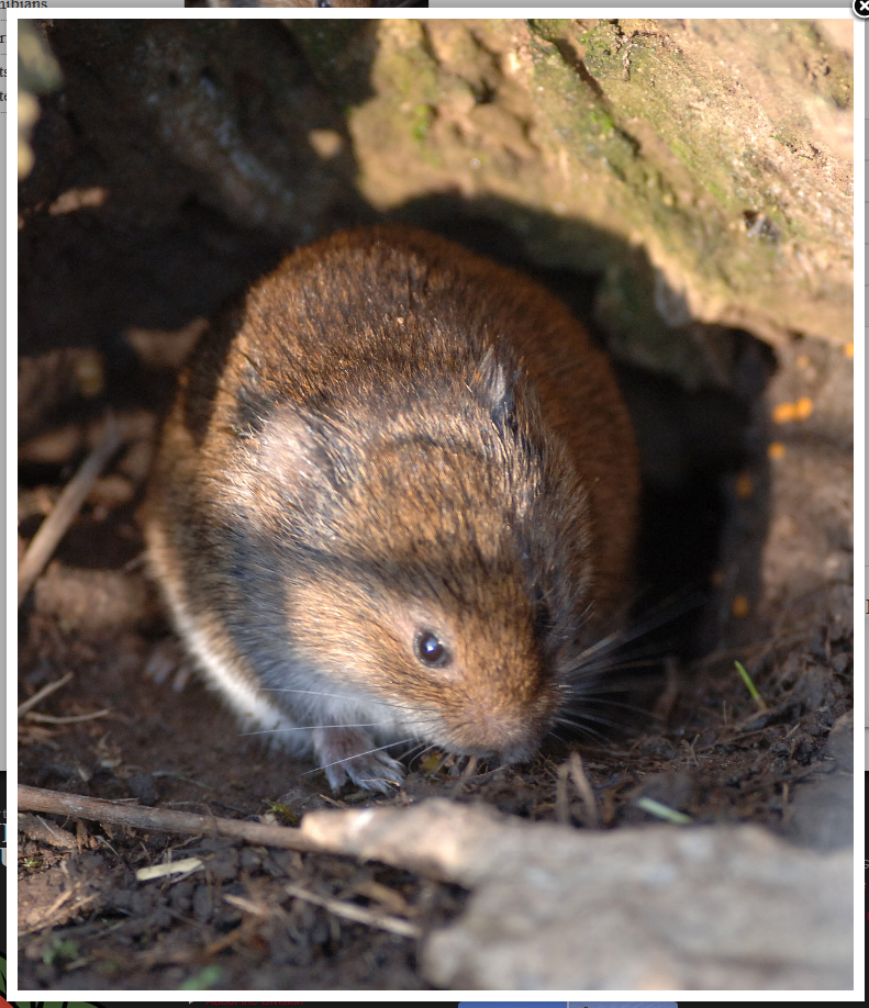 vole in meadow